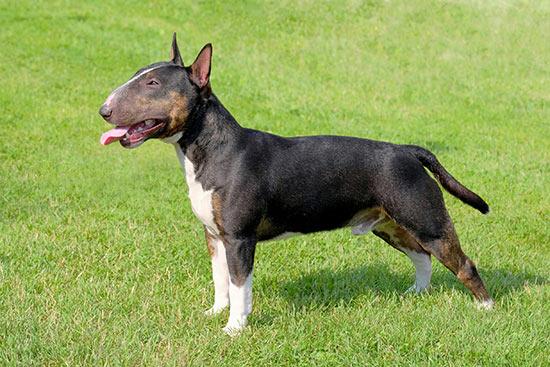 Steh - Erziehung des Mini Bull Terrier